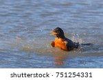 American Robin Bird Bathing In...