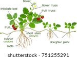 parts of plant. morphology of... | Shutterstock .eps vector #751255291