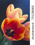 Red Tulips With Yellow Edges O...