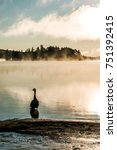Small photo of Duck swimming ake of two rivers in algonquin national park ontario canada sunset sunrise with much fog foggy background