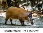 Image Of Red River Hog On Soil...