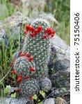 Small photo of Graham's Nipple Cactus (Mammillaria grahamii or Mammillaria microcarpa) other common names: Pincushion Cactus, Arizona Fishhook