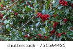 Small photo of American holly (Ilex opaca) tree with fruits