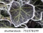 Frost On Ivy Leaves. Winter...