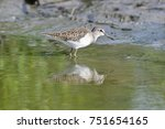 Small photo of The common sandpiper It is a gregarious bird and is seen in large flocks, and has the distinctive stiff-winged flight, low over the water, of Actitis waders.