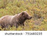 grizzly bear in denali national ... | Shutterstock . vector #751683235