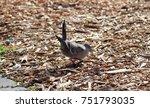 Native Dove Feeding In Mulch