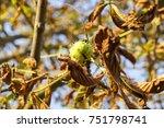 Fresh Brown Chestnut On A...