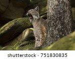 tired lynx lynx   Shutterstock . vector #751830835