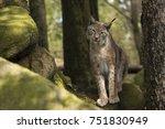 one lynx lynx   Shutterstock . vector #751830949