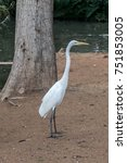 Small photo of Great White Egret Standing Tall with Extended Neck