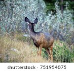 Small photo of Mule deer looking away with large ears and beautiful pelage, near Grassi Lakes, Banff National Park, Alberta, Canada.