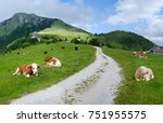 Many Cows On Pasture  Austria ...