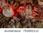 Small photo of Young Pheasant chicks under an infra red lamp keeping warm