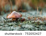 edible mushrooms  oily  close... | Shutterstock . vector #752052427