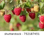 red ripe raspberries on a bush. ... | Shutterstock . vector #752187451