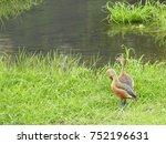 Fulvous Lesser Whistling Ducks...