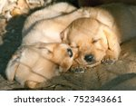 cute little puppies  two lovely ... | Shutterstock . vector #752343661