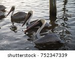 Pelicans Floating In The Water...