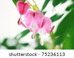 Bleeding Heart. Extremely shallow depth of field with selective focus on center flower. - stock photo