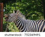 Small photo of BALKING ZEBRA