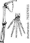 bones of upper extremity  hand  ... | Shutterstock .eps vector #752370511