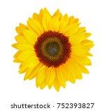 Sunflower  Helianthus Annuus ...