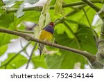 gouldian finch   the lady... | Shutterstock . vector #752434144