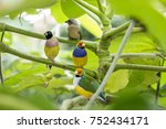 gouldian finch   the lady... | Shutterstock . vector #752434171