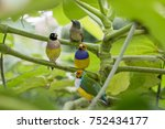 gouldian finch   the lady... | Shutterstock . vector #752434177