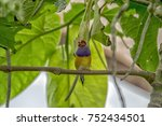 gouldian finch   the lady... | Shutterstock . vector #752434501