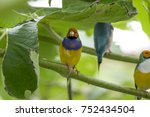 gouldian finch   the lady... | Shutterstock . vector #752434504