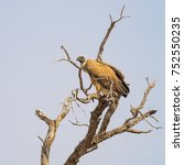 Small photo of White-Backed Vulture perched on a dead tree in the Kgalagadi Transfrontier Park straddling South Africa and Botswana.