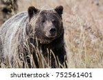 grizzly carefully monitoring... | Shutterstock . vector #752561401