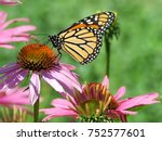 Monarch Butterfly And Purple...