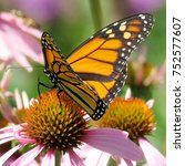 The Monarch Butterfly On The...