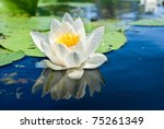 White Lily Floating On A Blue...