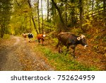 cows on a rural road with a... | Shutterstock . vector #752624959