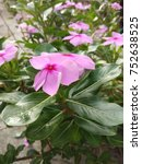 Small photo of Beautiful Pink Vinca Flower
