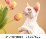 A White Cornish Rex Cat Playin...