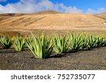 Aloe Vera Farm On The Canary...