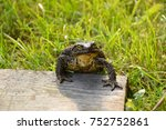 Big Brown Toad Sitting On A...