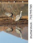 Small photo of sand hill crane (Grus canadensis) at Bosque del Apache National Wildlife Refuge