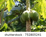 papaya fruit  closed up | Shutterstock . vector #752805241