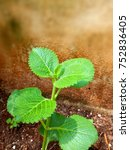 Small photo of Ajwain medicinal leaves used for cold an other remedies