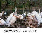 group of adult pelicans in the... | Shutterstock . vector #752887111