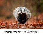 badger running in forest ... | Shutterstock . vector #752890801