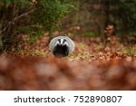 badger running in forest ... | Shutterstock . vector #752890807