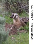 Small photo of American Badger working on new tunnel