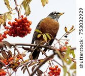 Small photo of The American Robin on a rowanberry tree in forest of Thornhill, Canada, November 3, 2017
